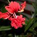 Hibiscus El Capitolio rouge (7)