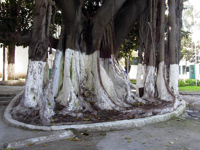 Dragonienbäume