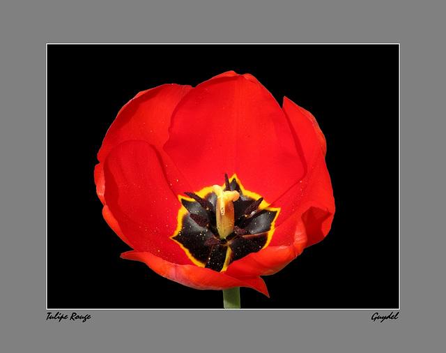 Tulipe Rouge de 2011