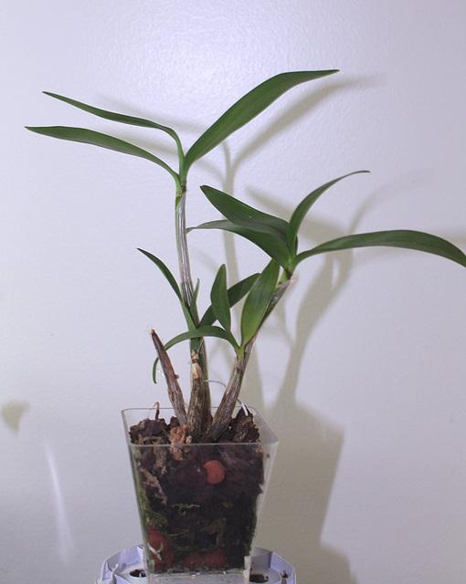 Keiki de Dendrobium