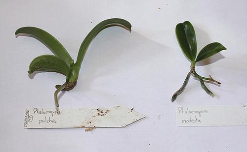 Keiki de Phalaenopsis