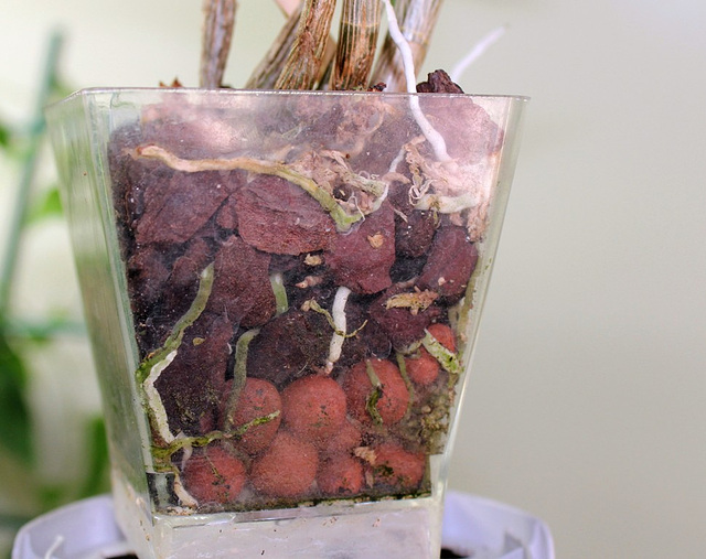 Dendrobium bien enraciné