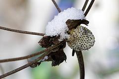 Anémone japonaise
