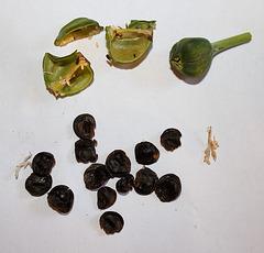 Capsule et graines cybister Hippeastrum
