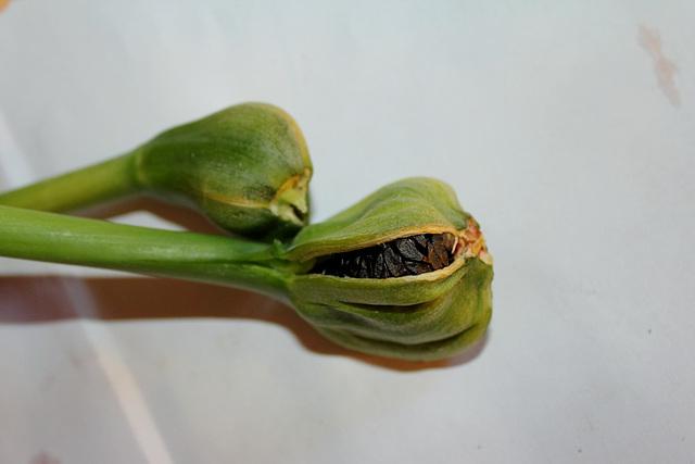 capsule mûre et déhiscente d'Hippeastrum