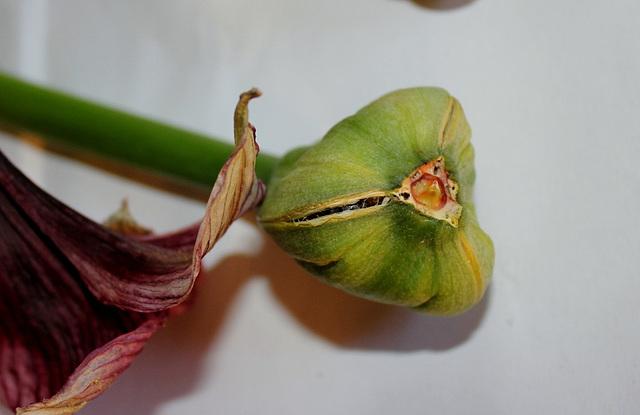 capsule mûre et déhiscente d'Hippeastrum (4)