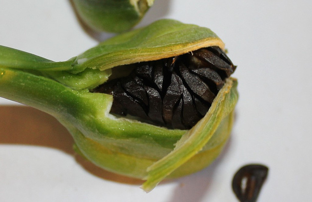Hippeastrum - ouverture de la capsule (3)