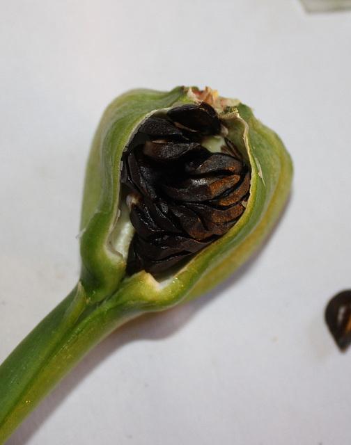 Hippeastrum - ouverture de la capsule (4)