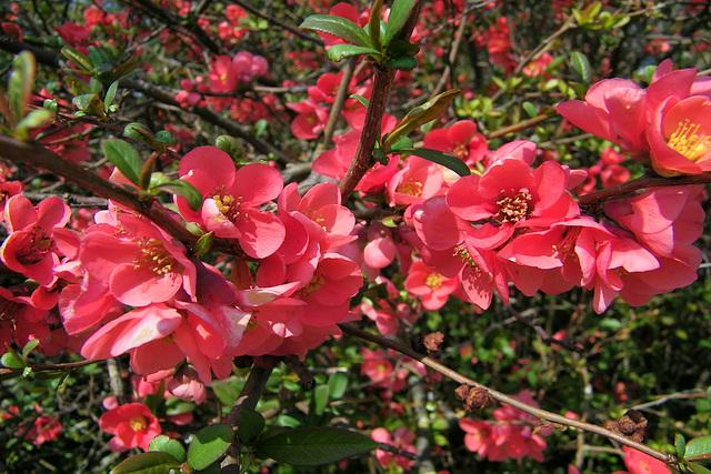 Fleurs de cognassier du Japon