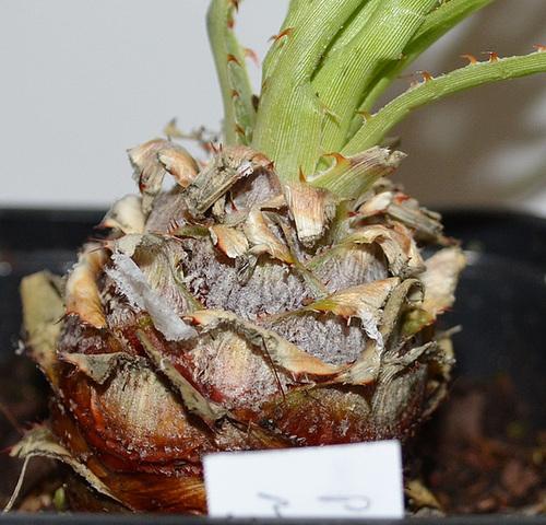 puya mirabilis DSC 0051