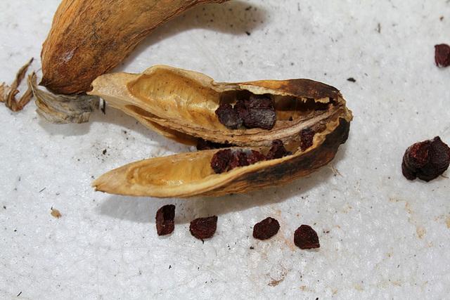 Capsules et graines d'Iris barbu