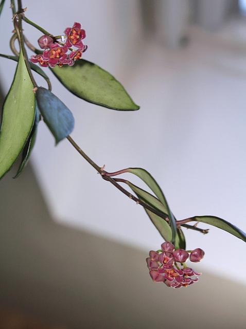 Hoya davidcummingii