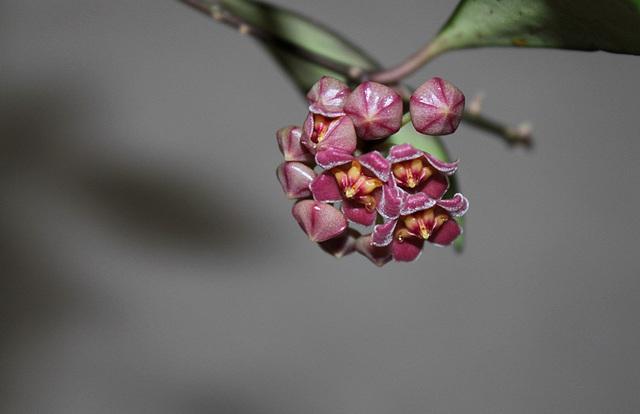 Hoya davidcummingii (2)