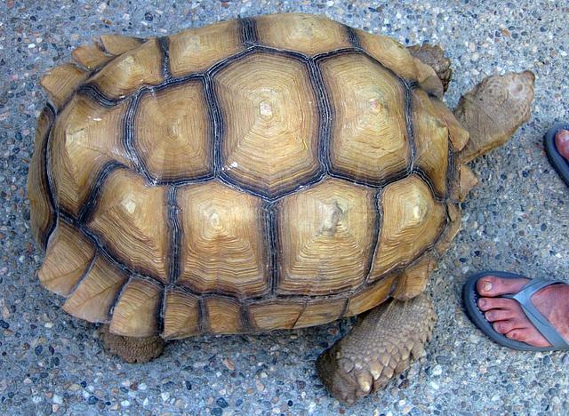 Tortoise (1915)