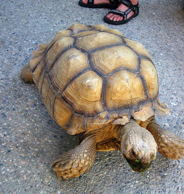 Tortoise (1917)