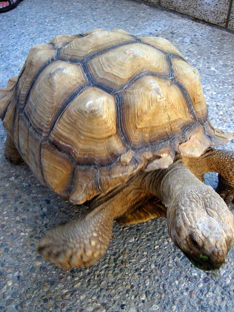 Tortoise (1918)