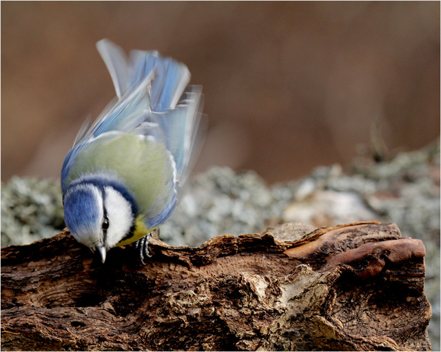 frémissement bleu....de la mésange
