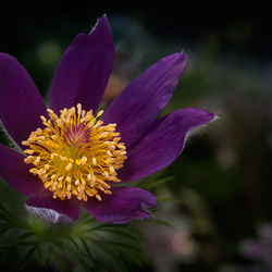 P is for Perfectly Purple Pasque Pulsatilla