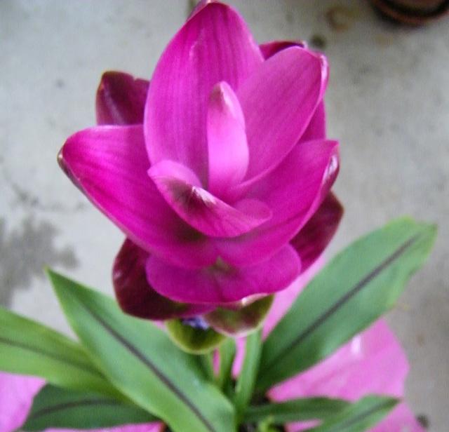 Curcuma Alismatifolia ou tulipe de Siam