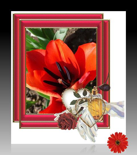** Tulipe du jardin **