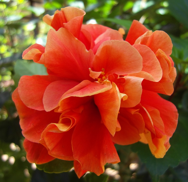 Hibiscus pompon orange