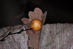 20111211 7028RTfw Eichengallapfel, Eichenblatt