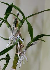 Keiki de Dendrobium nobile