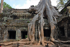 Strangler figs overpower the ruins of Ta Prohm