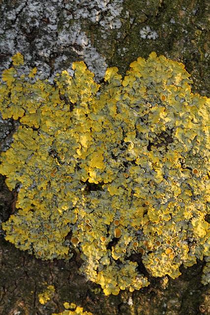 Lichen sur écorce-Xanthoria parietina