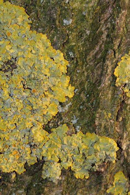 Lichen sur écorce-Xanthoria