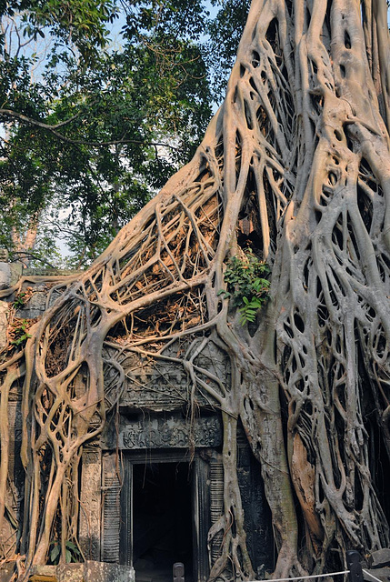 Ta Prohm has called the living jungle