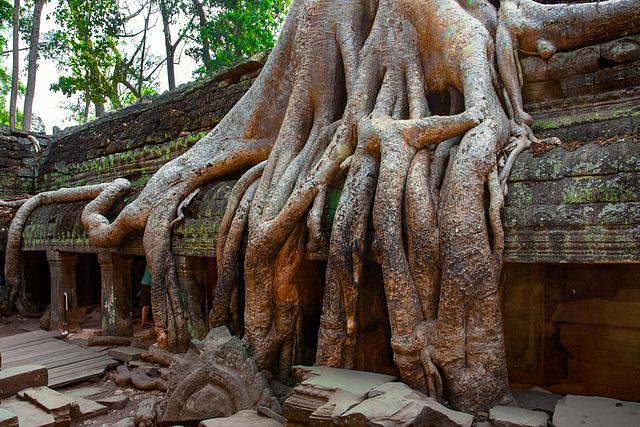 Tomb Raider tree in Ta Prohm complex