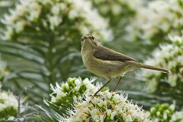 Mosquitero canario,- (Phylloscopus canariensis)