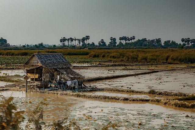 Lonely farmers house in the paddy field
