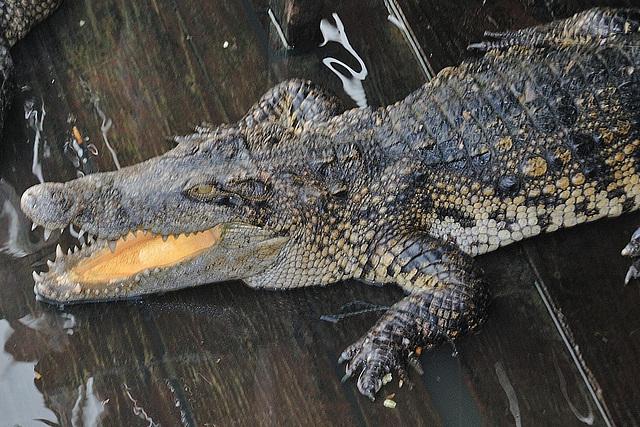 No crocs in Tonlé Sap