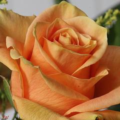 Dolcezza della rosa