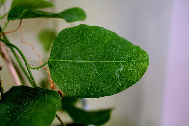 P. actinia