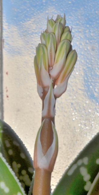 aloe variegata DSC 0395