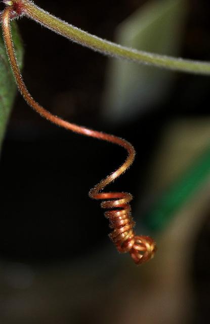 tentacule