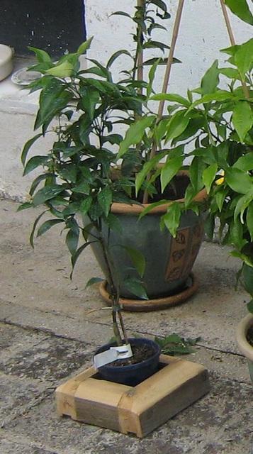 Oranger sanguinelli 002