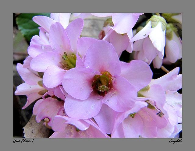 Une Fleur (... inconnue !) maintenant connue grâce à DOMCHO: Bergenia Cordifolia !