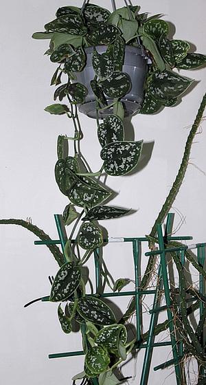 Scindapsus pictus 'Argyraeus