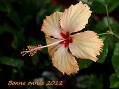 Hibiscus 'Fort de France' bonne année