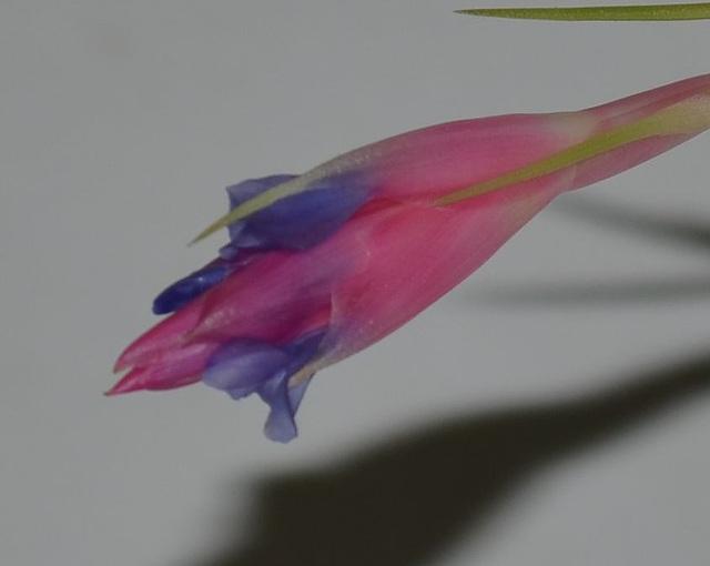 Tillandsia aeranthos DSC 0493
