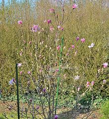 Magnolia loebneri 'leonard messel' DSC 0120
