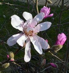 Magnolia loebneri 'leonard messel' DSC 0121
