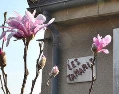 Magnolia loebneri 'leonard messel' DSC 0122