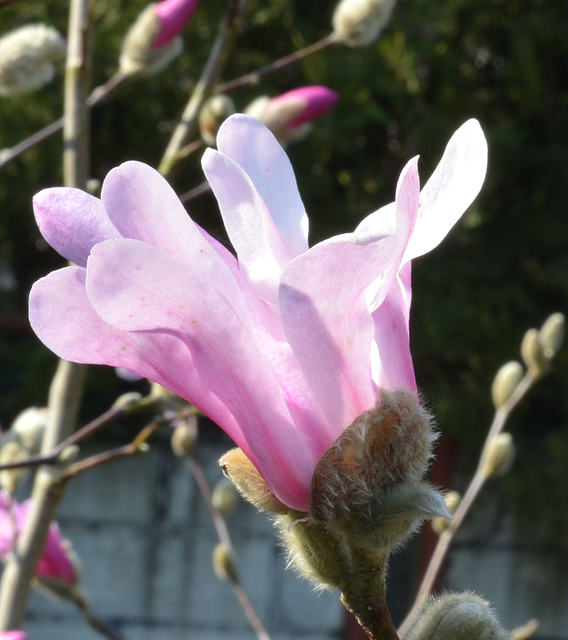 Magnolia loebneri 'leonard messel' DSC 0123