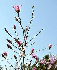 Magnolia loebneri 'leonard messel' DSC 0124