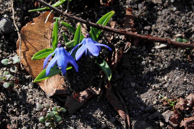 Petites bulbeuses du jardin Henri Vinay (2)
